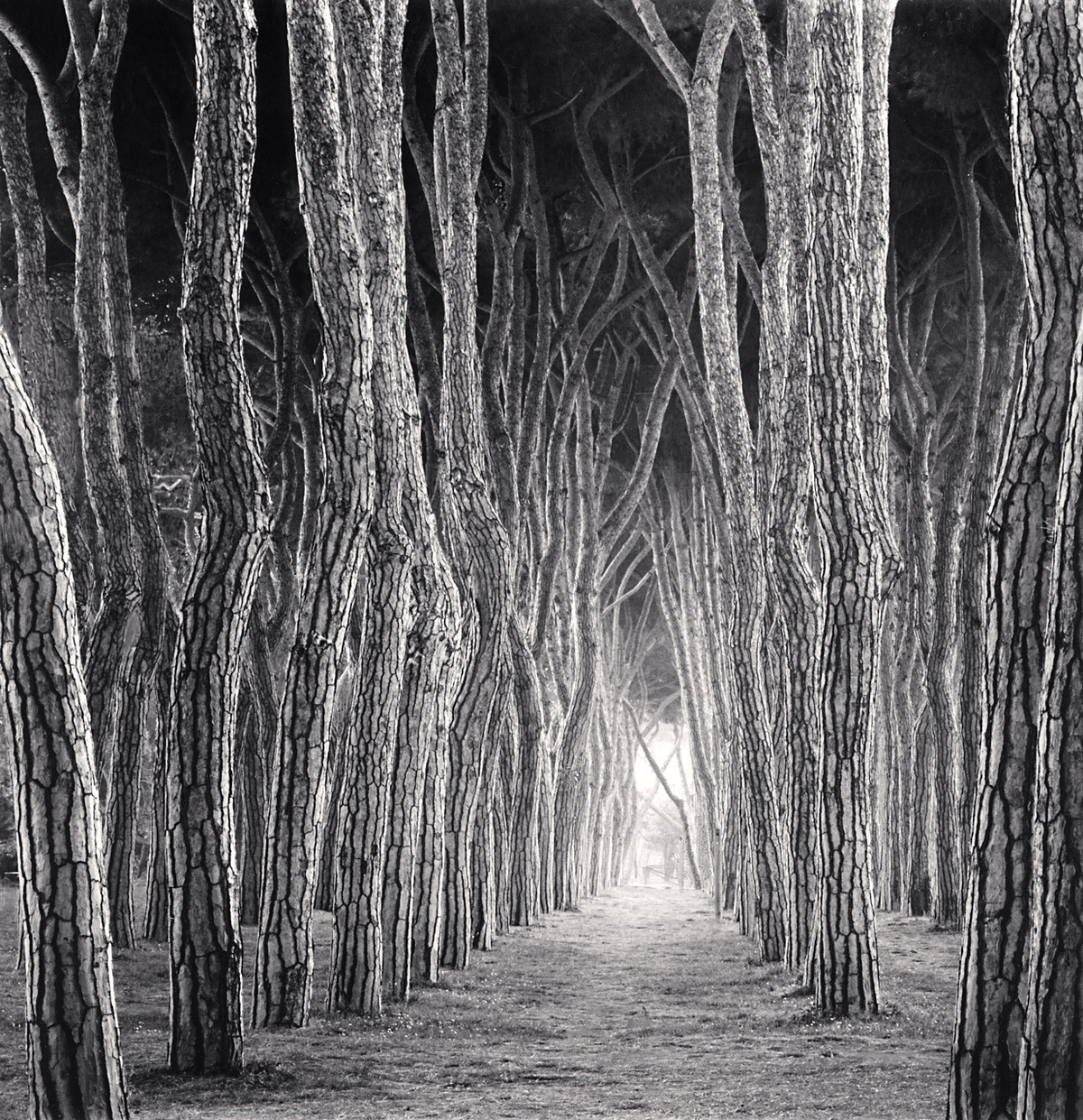 Michael Kenna Stone Pine Tunnel, Pineto, Abruzzo, Italy 2016 Sepia Toned Silver Gelatin Print From An Edition Of 25 8 x 8 Inches