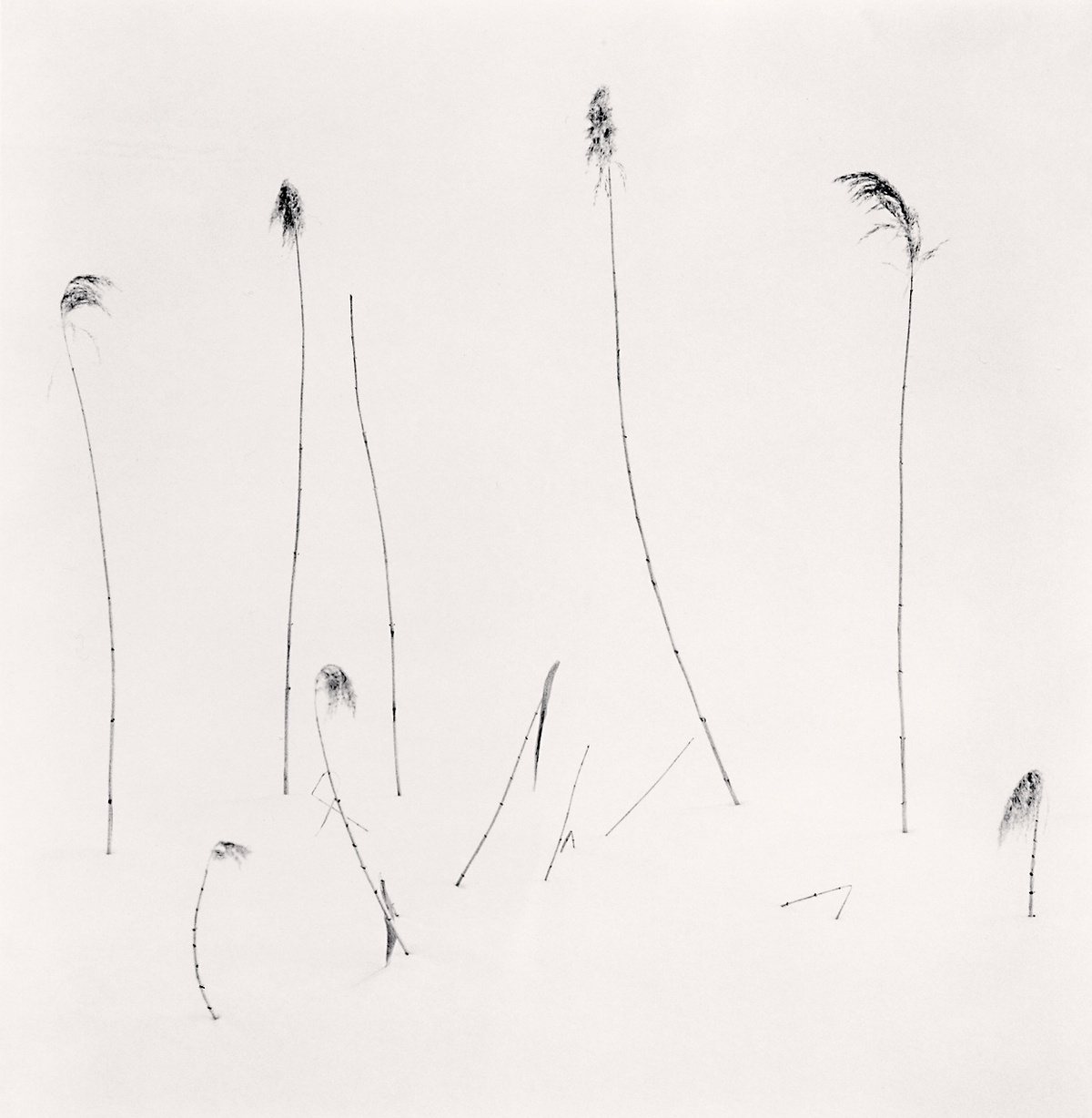Michael Kenna Twelve Winter Stalks, Furano, Hokkaido, Japan 2012 Sepia Toned Silver Gelatin Print From An Edition Of 45 8 x 8 Inches