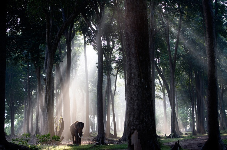 Steve Bloom Elephant in the Forest, India Archival print on aluminium Open Edition