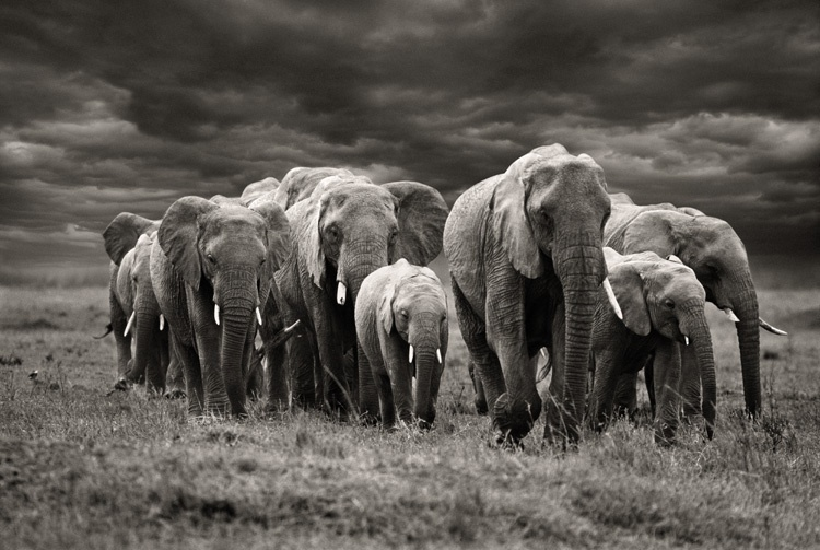 Steve Bloom Elephants with stormy skies, Kenya Archival pigment print Edition of 12