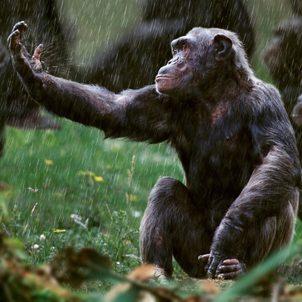 Steve Bloom, Chimpanzee in the rain