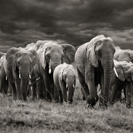 Steve Bloom, Elephants with stormy skies, Kenya