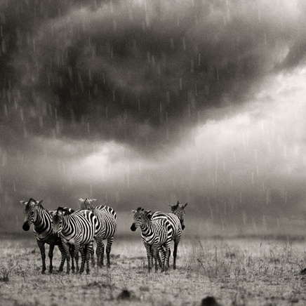 Steve Bloom, Zebras in the Rain, Kenya