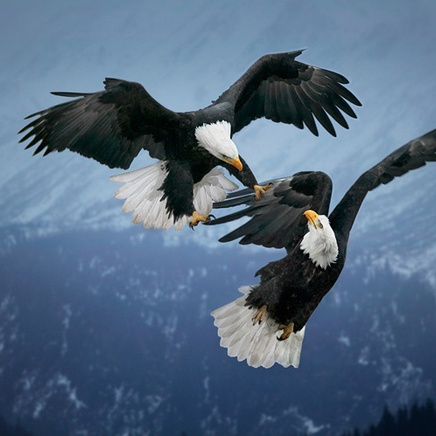 Steve Bloom, Bald Eagles fighting, Alaska