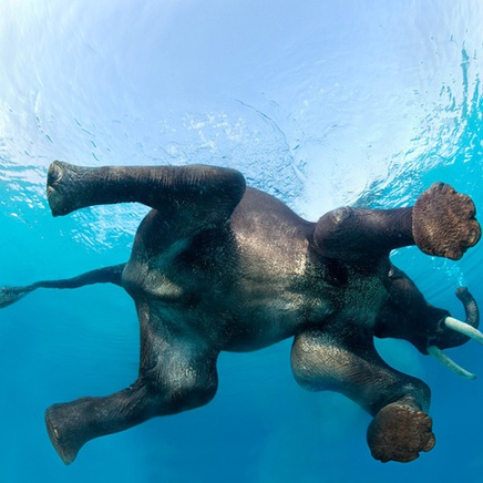 Steve Bloom, Elephant Swimming I