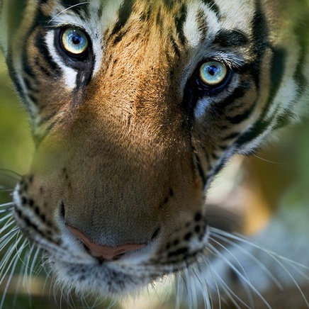 Steve Bloom, Bengal Tiger, India