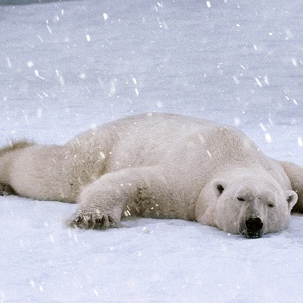 Steve Bloom, Polar Bear Sleeping, Canada