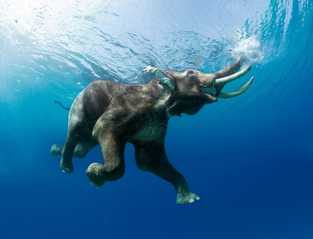 Steve Bloom, Elephant Swimming III